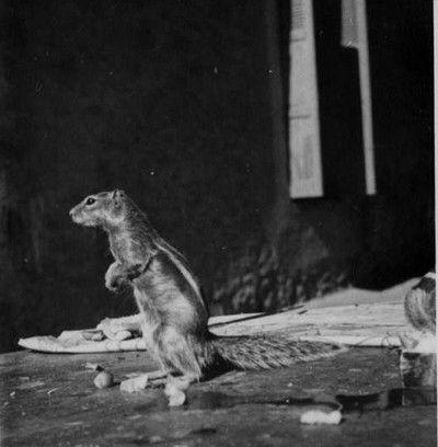 un_rat_palmiste