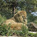 lion forum