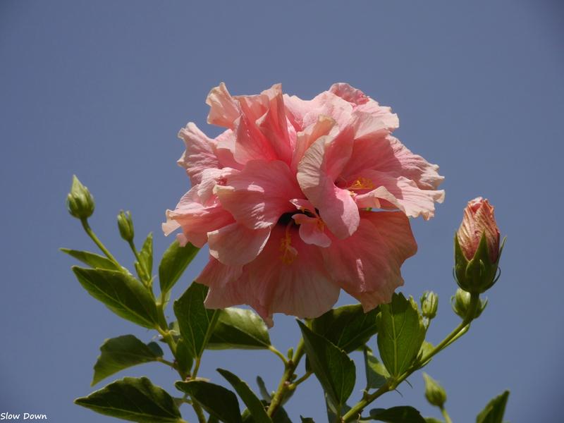 Hibiscus et ciel bleu