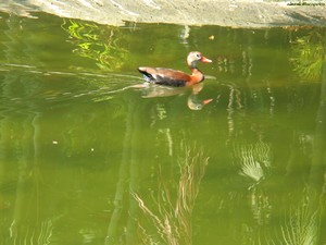 papag_0401_1_duck