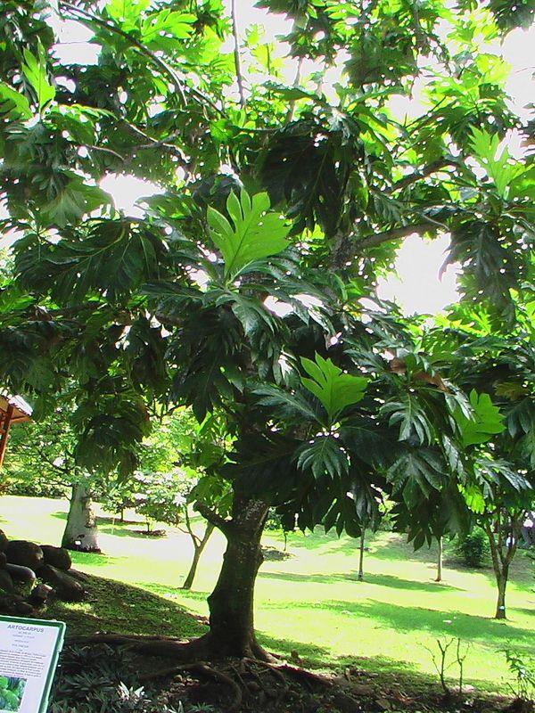 arbre fruit pain photo de jardin botanique de. Black Bedroom Furniture Sets. Home Design Ideas