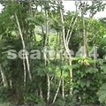 13_arbre balsa