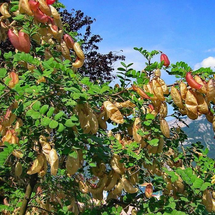 colutea-arborescens-baguenaudier-arbre-a-vessi