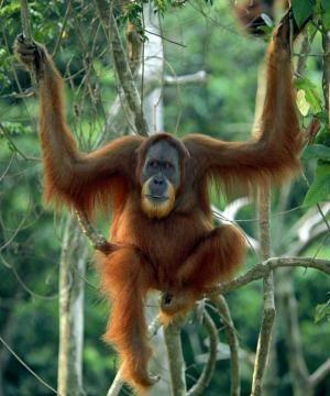 orangutan_jungle_forest_1_