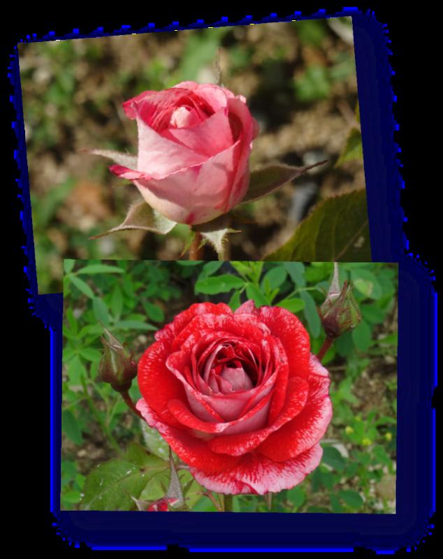 rosier famosa en bouton et ouvert