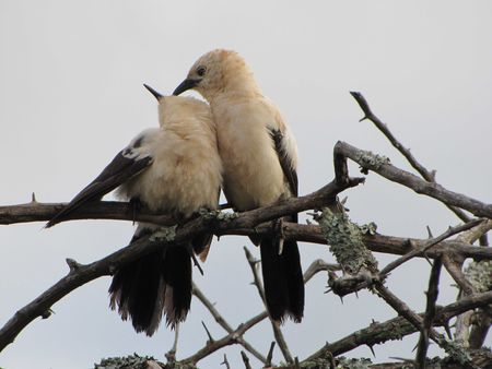 Babbler_Southern_Pied5
