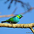 Calliste à tête verte (tangara seledon)