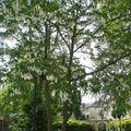 l'arbre aux mouchoirs • Davidia involucrata • Famille Nyssaceae