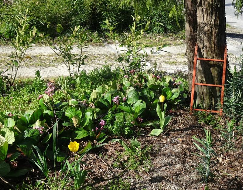 tulipes de sous-bois