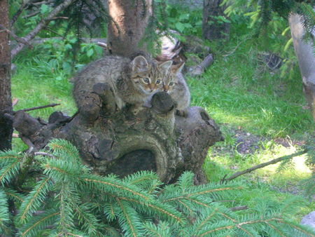Zoo_alpin__chatons_sauvages_4